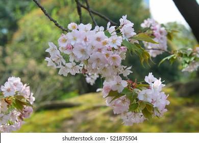 Beautiful Cherry Blossoms (Sakura Hanami)