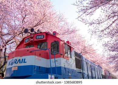 Beautiful cherry blossoms in the spring of South Korea at Jinhae, Gyeonghwa Railway Station.Taken on 2019 April 6  at Jinhae city South Korea.