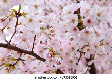 Beautiful cherry blossoms in spring time