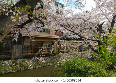 Beautiful Cherry Blossoms take over the scenery along a riverbank in the Gion district of Kyoto, Japan