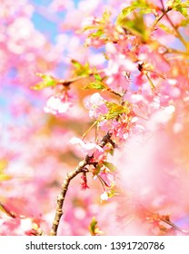 Beautiful Cherry Branch in Spring