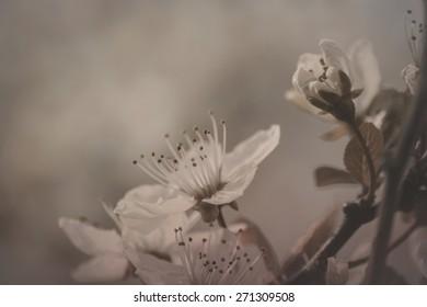 beautiful cherry tree flowers blooming in spring, stock photogra