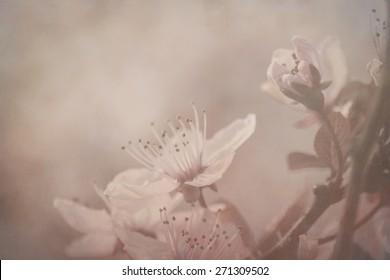beautiful cherry tree flowers blossom in spring, stock photogra