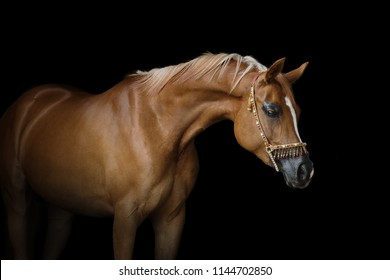 Beautiful chestnut arabian horse isolated on black background