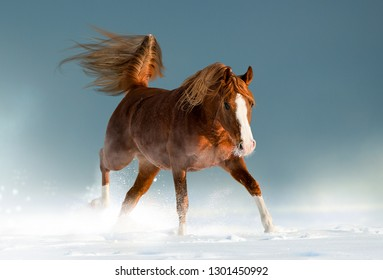 Beautiful chestnut arabian horse in winter playing in snow