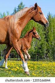 Beautiful chestnut Arabian Mare with few week old Foal running together in ameadow of yellow flowers.