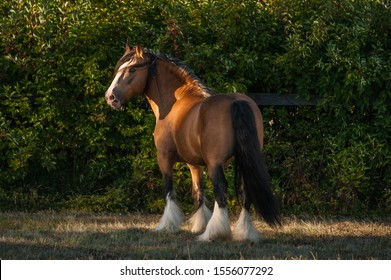Beautiful chestnut (brown with black mane) cart horse stallion stand freely in the paddock during summer time. Concepts: animal, free, equestrian, portrait
