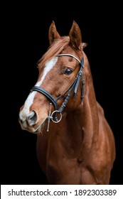 Beautiful chestnut brown horse mare stallion isolated on black background. Elegant portrait of a beautiful animal.