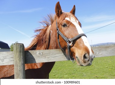 A beautiful chestnut colored Mare stands by the fence/Chestnut Colored Mare/A beautiful chestnut colored Mare