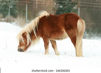 Beautiful chestnut shetland pony with long mane in winter