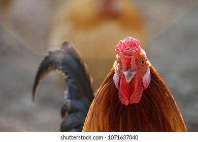 beautiful chicken in the nature