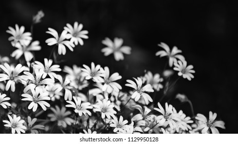 Beautiful chickweed flowers in black and white. Stellaria graminea. Romantic floral background. Abstract artistic close-up of blooming wild herbs. Tranquil melancholy scene.