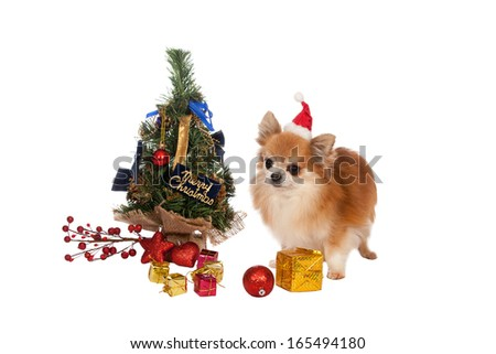 Beautiful chihuahua with Christmas decorations on white background - Beautiful Chihuahua Christmas Decorations On White Stock Photo (Edit