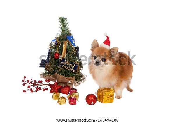 Beautiful chihuahua with Christmas decorations on white background