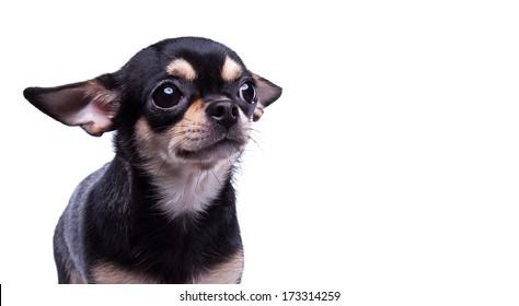 Beautiful chihuahua dog. Animal portrait. Stylish photo. White background. Collection of funny animals