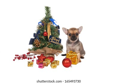 Beautiful chihuahua puppy with Christmas decorations on white ba