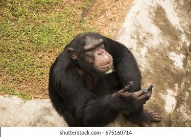 a beautiful chimpanzee isolated