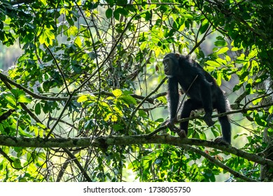 The beautiful Chimpanzees through Chimp Tracking inside the Kyambura Gorge in Uganda