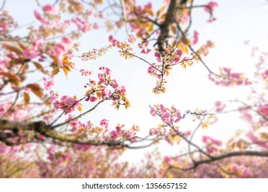 Beautiful Chinese cherry valley, transplanted Japanese cherry blossoms. Romantic natural background.