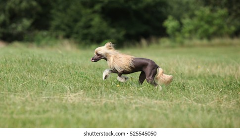 Beautiful Chinese Crested Dog running in the grass