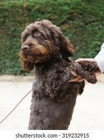 Beautiful chocolate brown Cockerpoo dog