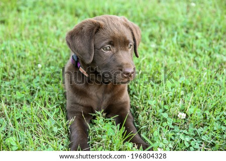 Beautiful Chocolate Lab Puppy Stock Photo Edit Now 196804328