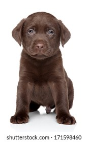 Beautiful chocolate Labrador puppy sits on white background