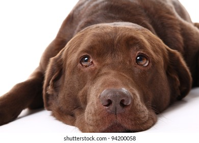 Chocolate Labrador Images Stock Photos Vectors Shutterstock