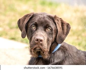 Beautiful chocolate labrador retriever in park, looks at camera.