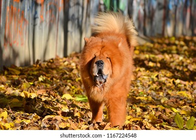 beautiful chow chow dog in autumn day