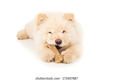 Beautiful chow chow puppy with a bone