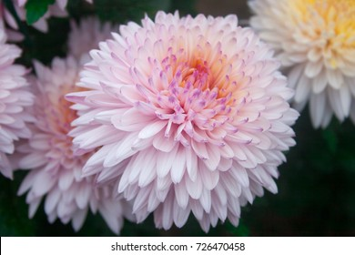 Beautiful chrysanthemum as background picture.
