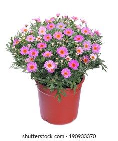 Beautiful chrysanthemum daisies flowers in a pot isolated