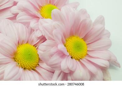 Beautiful chrysanthemum flower background