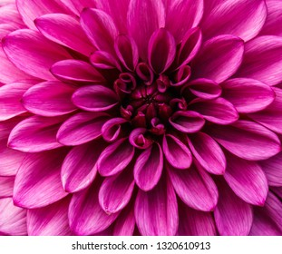 beautiful chrysanthemum flower macro in the garden background.