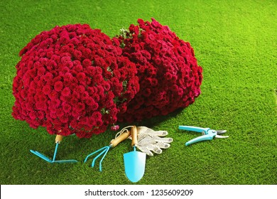 Beautiful chrysanthemum flowers and gardening tools on artificial lawn