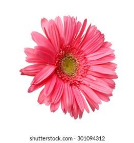 beautiful chrysanthemum isolated on white background