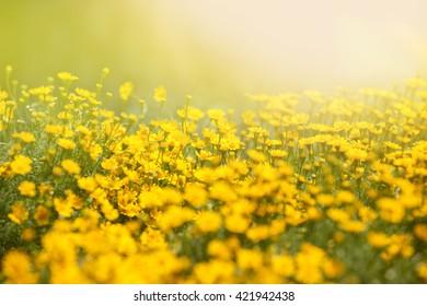 Beautiful Chrysanthemum morifolium Ramat in sun light and lans flare. Macro with extremely shallow dof .Sotf style