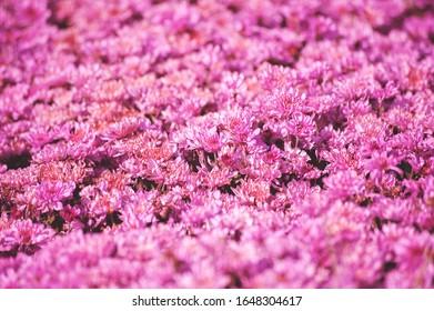 Beautiful Chrysanthemums Flower pattern , chrysanthemums in Seasonal Pink flower field concept
