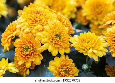Beautiful Chrysanthemums flowers blooming in garden at spring day