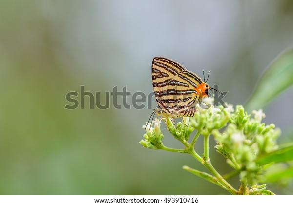 Sưu tập Bộ cánh vảy 3 - Page 35 Beautiful-cigaritis-syama-butterfly-perched-600w-493910716