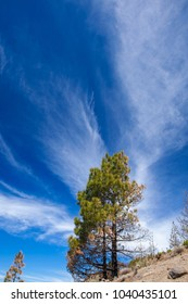 beautiful cirrus clouds and Canary Islands pine tree natural background