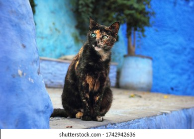 Beautiful city view, dark brown spotted cat with green eyes at the background of blue walls in historical center, ancient Medina of Chefchaouen (Chaouen), Morocco, Maghreb, Northwest Africa.