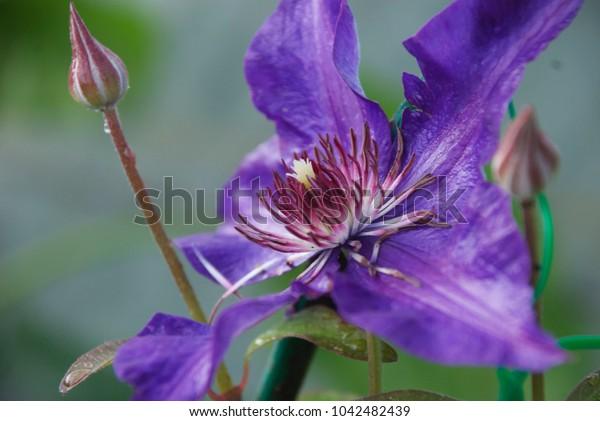 beautiful clematis flower in drops of dew