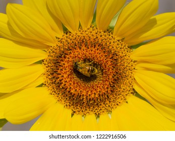 beautiful clever bee sits on a yellow flower of a sunflower and the sunlight shines and the background is blurred