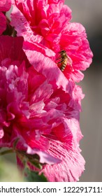 beautiful clever bee sits on a pink flower of a terry stock rose and the sunlight shines and the background is blurred