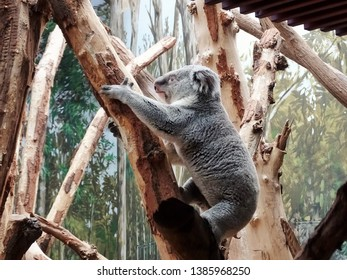 beautiful climbing coala - one animal