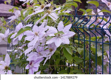 The beautiful climbing plant Clematis.  Bush of Lilac clematis Flower close-up. Clematis Vine
