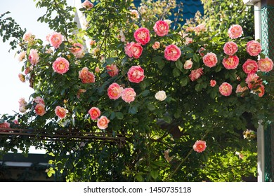 Beautiful climbing rose in home garden