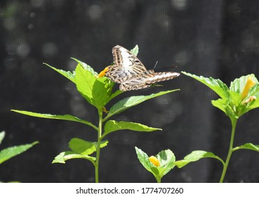 Beautiful clipper butterfly hovering over a green plant.